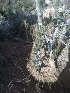 Recuperación y evolución de dos olivos yamadori (2014 - ACTUALIDAD) Th_984621495_DSC_0062_122_255lo